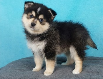 Male and female Pomsky Puppies Available