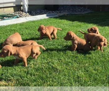 Lovely Vizsla puppies For sale