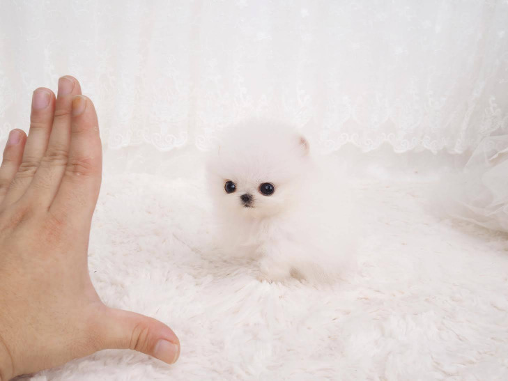 Excellent Pomeranian Puppies Available