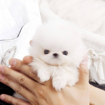 Pure Teacup Pomeranian Puppies Available
