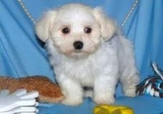 Well Socialized Teacup Maltese Puppies