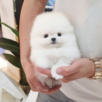 Cute teacup Pomeranian puppies for rehom