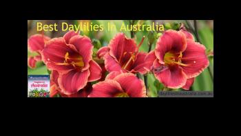 Sandy Denny Daylily In Australia