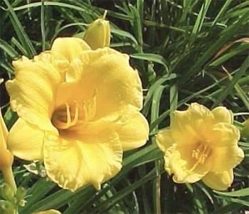 Stella De Oro  Day Lily In Australia -