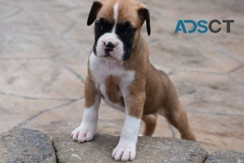 Two Boxer Puppies For Sale Now
