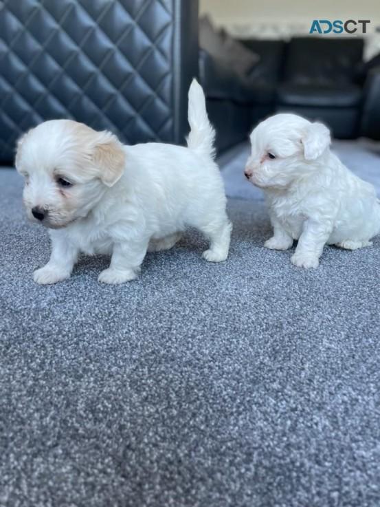 Adorable Maltipoo Puppy For Sale