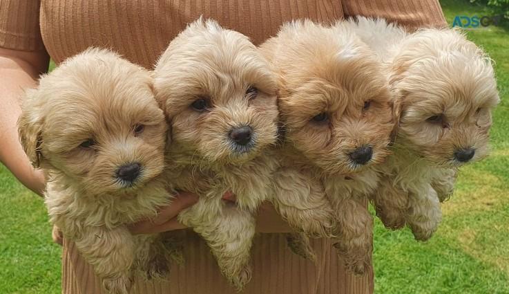 Cute Maltipoo Puppies