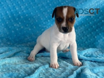 Trained jack Russell Puppies