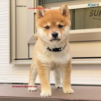 Super Adorable Shiba Inu Puppies