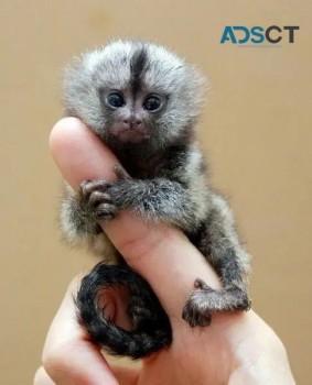 Cute, Healthy Marmoset Monkeys