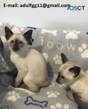 domestic Siamese kittens