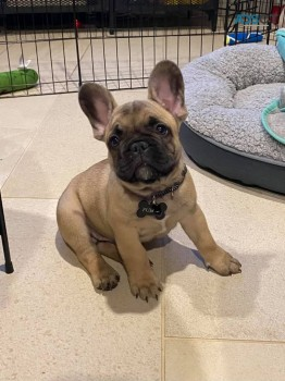 Adorable French Bulldog for you