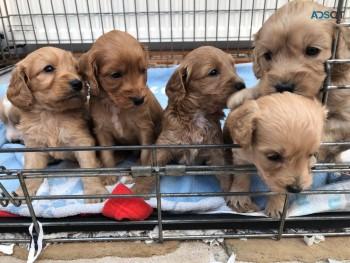 Cockapoos puppies