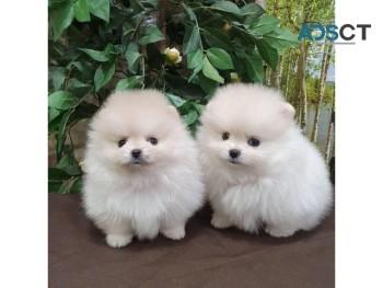 Wonderful Pomeranian Puppies for Sale