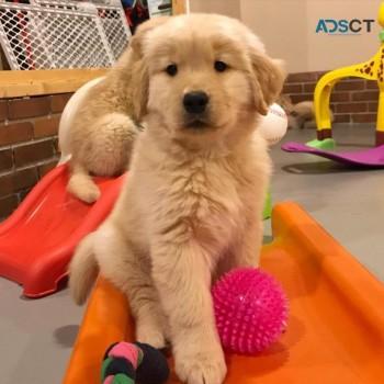 Mind Blowing Golden Retriever Puppies