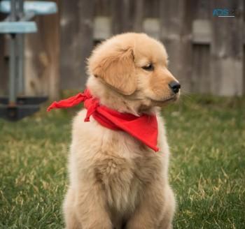Entertaining Golden Retriever Puppies