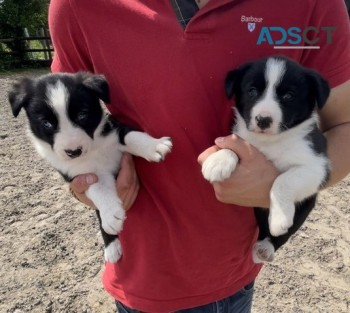 Available Border Collie puppies for sale