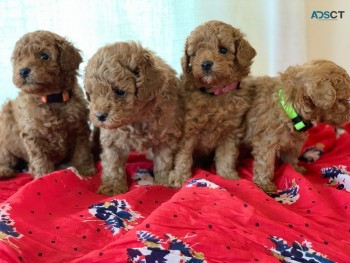 Red Toy Poodles For Sale