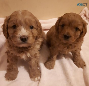Toy Cavoodle puppies for sale.
