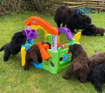 Purebred Newfoundland Puppies Ready now