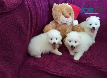 Japanese Spitz Puppies for sale.