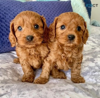 Red Toy Cavoodle Puppies for sale.