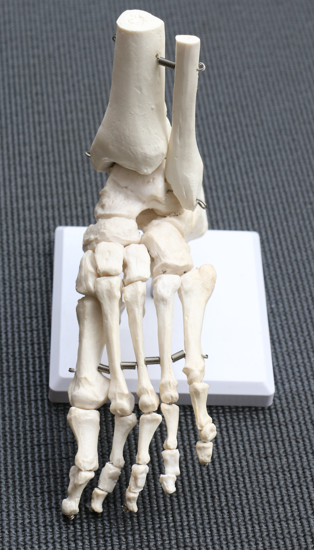 Life Size Foot Joint Anatomical Model Skeleton  Z2655