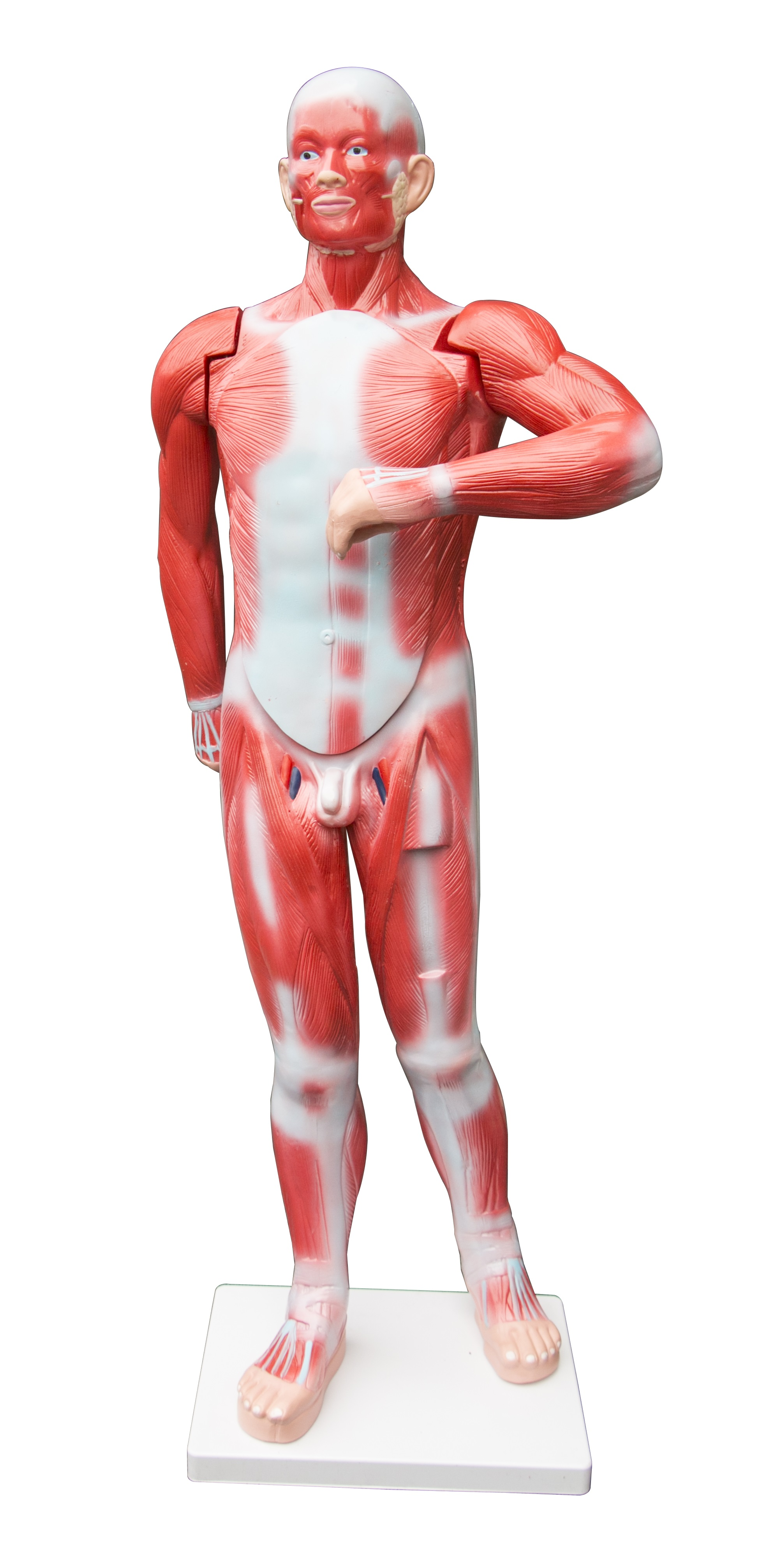 Human Anatomical Muscular Model Muscle System  Z2658